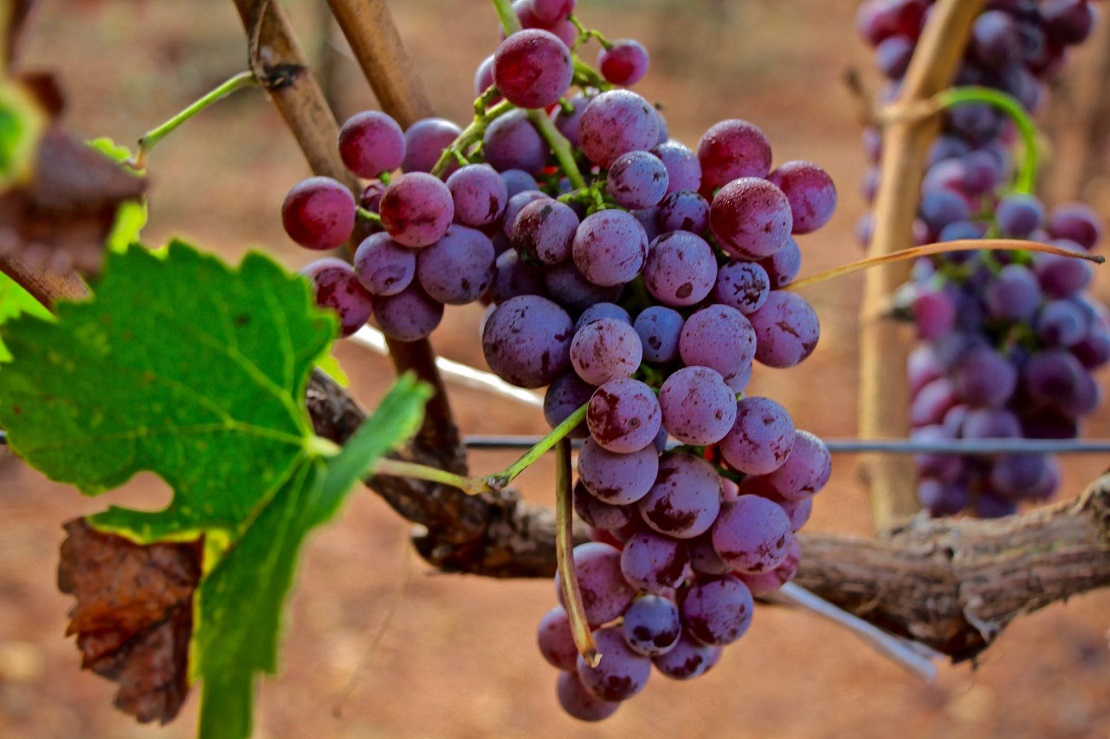 "Wine Plus: ""Μοσχοφίλερο – Τα διαφορετικά στυλ και η ουσία"""